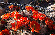 """Echinocereus triglochidiatus (common name Claret Cup Hedgehog, Mojave mound cactus, or Kingcup cactus) is native to southwest USA and northern Mexico. Echinocerens is from the Greek echinos, meaning a hedgehog, and cereus meaning a wax taper. Triglochidialus means """"three barbed bristles"""" and refers to the straight spines arranged in clusters of three. Hueco Tanks State Park & Historic Site is popular for birding and bouldering (rock climbing) in El Paso County, Texas, USA."""