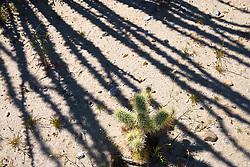 Cholla Cactus and Ocotillo shadow, Anza Borrego Desert, California, USA