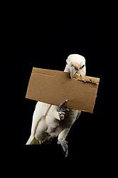 [captive] Paperboard tool ( sequence 2/11 ) Reasearch on the cognitive abilities is done in the Goffin Lab (Lower Austria) by Alice M. I. Auersperg. Goffin's cockatoos or Tanimbar Corellas (Cacatua goffini) are endemic to an island archipelago in Indonesia. Their exploration seems to be reinforced by the movability of the respective affordances and involves both, bill and feet. | Pappewerkzeug - In diesem Versuch muss der Goffinkakadu erlernen, aus einer Pappe ein geeignetes Werkzeug zu stanzen um nach einer Belohnung (Cashewnuss) zu stochern, um sie zum Rausfallen aus einer ansonsten unzugänglichen Box zu bringen. Dies ist herstellen eines Wergzeugs und der Werkzeuggebrauch. Der Goffinkakadu (Cacatua goffiniana) ist eine Papageienart und kommt in freier Wildbahn ausschließlich auf der indonesischen Inselgruppe Tanimbar vor. Diese Aufnahmen wurden in Gefangenschaft aufgenommen.