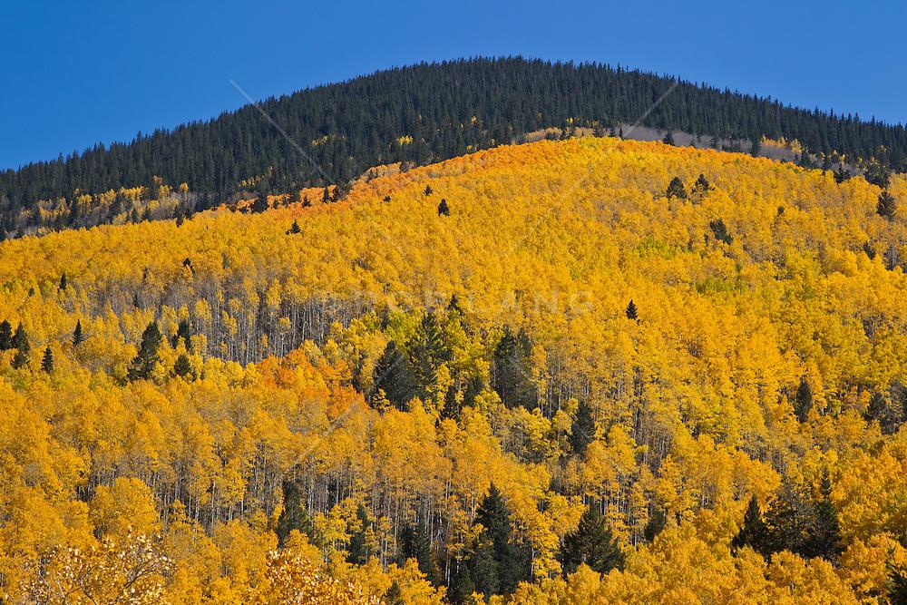 Aspen Trees during Autumn in Santa Fe, New Mexico