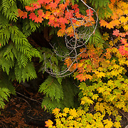 A Vine Maple (Acer circinatum) displaying a variety of its fall colors is intertwined with an evergreen tree near Merritt, Washington.