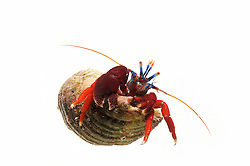 [captive] Blood-red hermit (Pagurus edwardsi) [size of single organism: 4 cm] Comau Fjord, Patagonia, Chile |