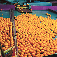 Oranges ready to be exported all over Europe