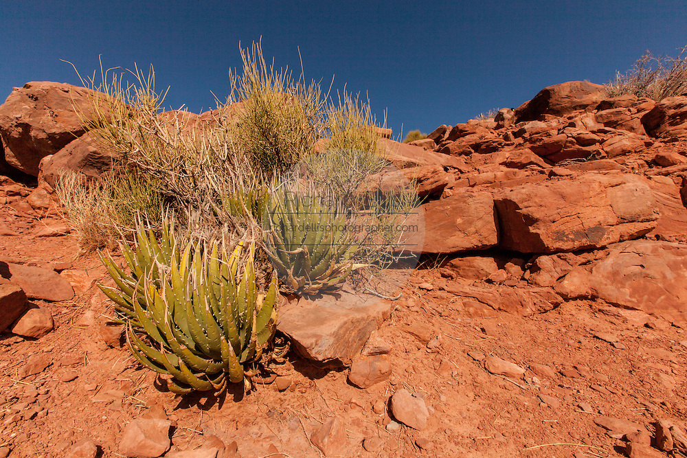 Agave plants cling to a cliff side in the Grand Canyon West at Eagle Point Hualapai Nation reservation, AZ.