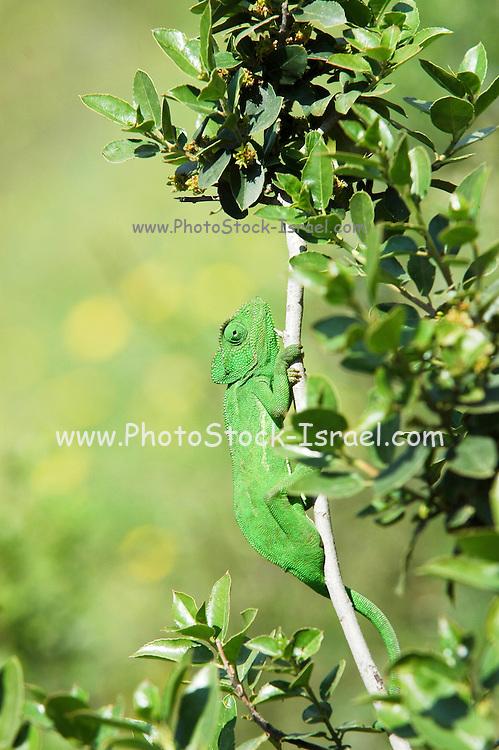 Israel, Mediterranean Chameleon, AKA common chamaeleon, Chamaeleo chamaeleon