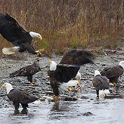 Bald eagles (Haliaeetus leucocephalus) feed or fight for food along the Nooksack River in Whatcom County, Washington. Several hundred bald eagles winter along the Nooksack and Skagit rivers in the North Cascades of Washington to feast on spawned out salmon.