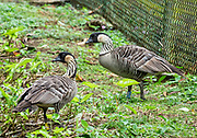 An adult pair of nene birds guard their chick (not visible) by a fence in Princeville, on the island of Kauai, Hawaii, USA. The nene (Branta sandvicensis, or Hawaiian goose) is endemic to the Hawaiian Islands and is the official state bird. Nenes are found in the wild on the islands of Oahu, Maui, Kauai, Molokai and Hawaii (the Big Island). Nene DNA indicates that the species evolved from the Canada goose (Branta canadensis) which likely arrived here about 500,000 years ago, shortly after the volcanic Big Island emerged from the sea.