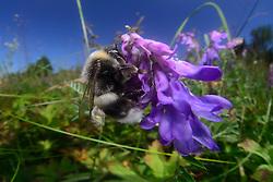 white-tailed bumble bee   Helle Erdhummel, Weißschwanz-Erdhummel (Bombus lucorum) beim Blütenbesuch, Nektarsuche, Bestäubung,