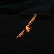 The southern African Bearded Vulture (Gypaetus barbatus) - or Lammergeyer - is currently endangered and likely to become extinct.  Originally common throughout Lesotho, the Free State, Eastern Cape Province and KwaZulu-Natal (along the Maloti-Drakensberg mountains), the Bearded Vulture now only breeds and forages across a fraction of its original range. Current (2011) population estimates are in the region of 100 breeding pairs, down from over 200 pairs 25 years ago.  Here, this rarely-seen vulture-like eagle of Africa catches the sun's first rays while the grassy slopes of the high Drakensberg remain in deep shadow.  Ukhahlamba-Drakensberg Park, KwaZulu-Natal, South Africa.  Nikon F601, 50-135/3.5. Fuji RD. Autumn 1993.