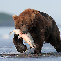 A brown bear (Ursos arctos) catches a salmon in Hallo Bay, Alaska.<br /> <br /> Canon EOS-1Ds Mark II, Canon 600mm lens with 1.4x teleconverter<br /> <br /> 1/800s @ f/8, ISO 800