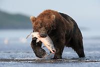 A brown bear (Ursos arctos) catches a salmon in Hallo Bay, Alaska.<br /> <br /> Canon EOS-1Ds Mark II, Canon 600mm lens with 1.4x teleconverter<br /> <br /> 1/800s @ f/8, ISO 800