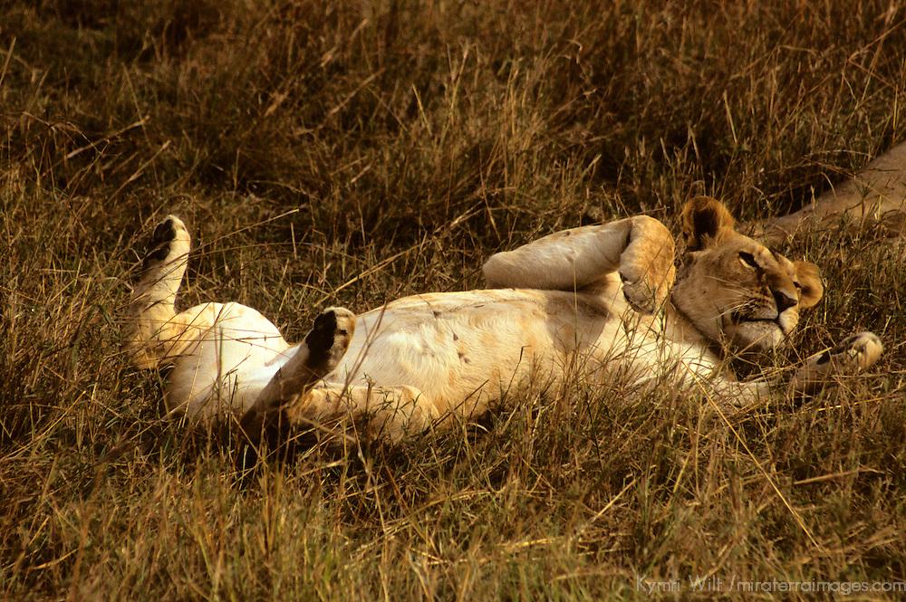 Africa, Kenya, Maasai Mara. Mother Lioness in the Mara.