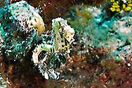 Caribbean Dwarf Seahorse, Hippocampus syngnathidae, Seahorses, Parrots Landing, Grand Cayman