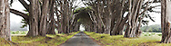 Monterey Cypress Tree Tunnel Panoramic Photo, Point Reyes National Seashore, California