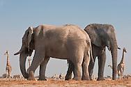 Elephant bulls at waterhole, Loxodonta africana, with giraffes and zebras, Etosha National Park, Namibia