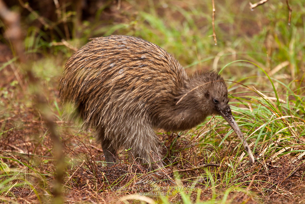 A wild Stewart Island Kiwi foraging along the forest floor at Stewart Island, New Zealand