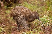 Kiwi Pictures - Photos