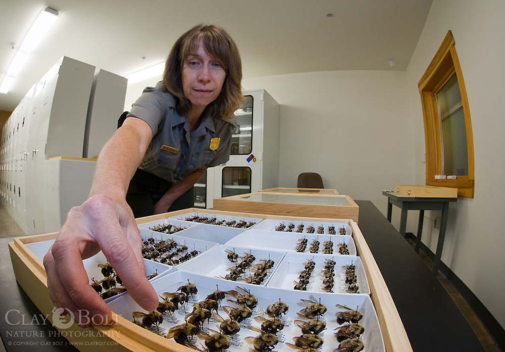 Becky Nichols, an entomologist with the National Park Service who is based in Great Smoky Mountains National Park Tennessee with samples of Rusty-patched Bumble Bees found in the park. The last Rusty-patched Bumble Bee was see in GSMNP in the early 2000s.