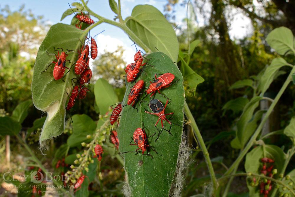 Red Bugs (Pyrrhocoridae sp), Miami, Florida