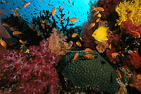 A coral reef with a variety of soft and hard corals and anthias and golden damselfish.  Vatu-i-Ra Channel, Fiji.