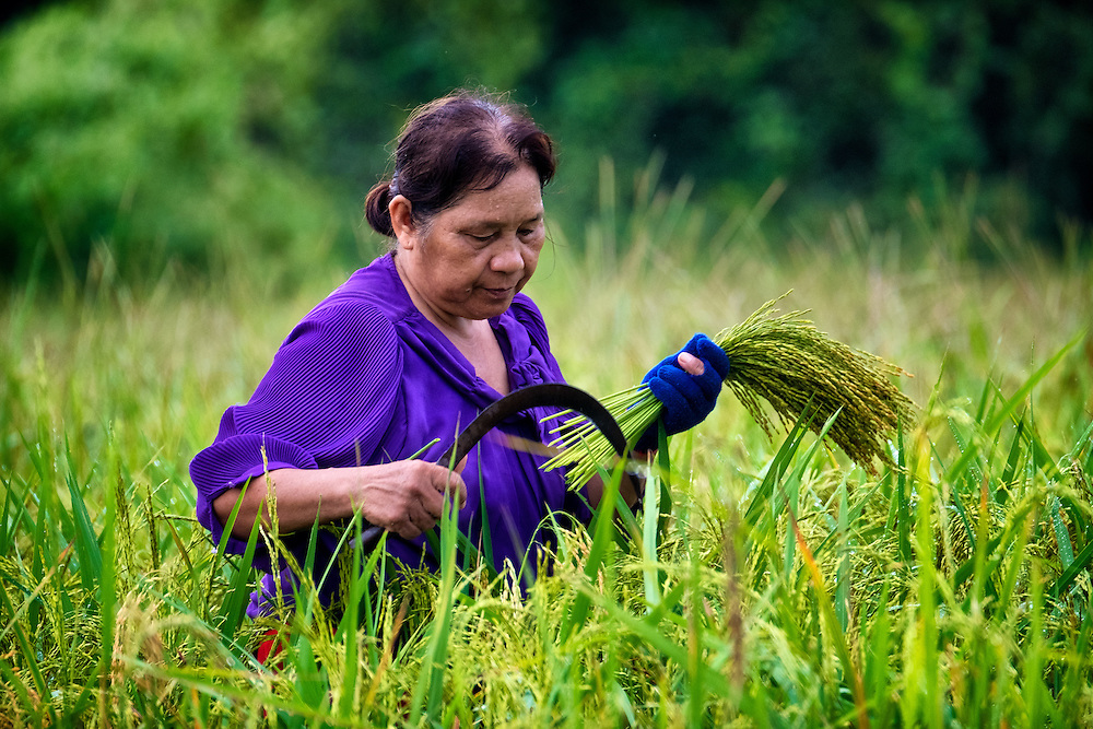 The Early Rice Harvest in Nakhon Nayok, Thailand. PHOTO BY LEE CRAKER