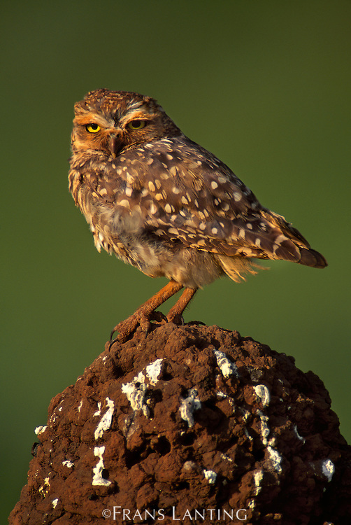Burrowing owl on termite mound, Athene cunicularia, Emas National Park, Brazil
