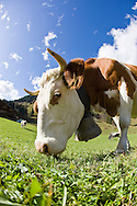 A cow with a large cowbell grazes on grass at a Swiss farm outside Gstaad, Switzerland