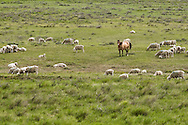 Dun Quarter Horse, sheep flock, south of Cohegen, Montana