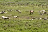 Dun Quarter Horse, sheep flock, south of Cohegen, Montana