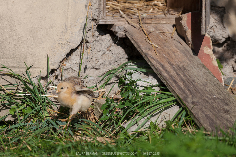 A Buff Brahma bantam chick learns to jump.