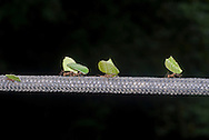 Leafcutter ants carrying leaves along a rope spanning a river. Sierra Nevada mountains, Colombia. Leafcutter ants, or leaf cutter ants, belong to the genera Acromyrmex and Atta. There are 47 known species.
