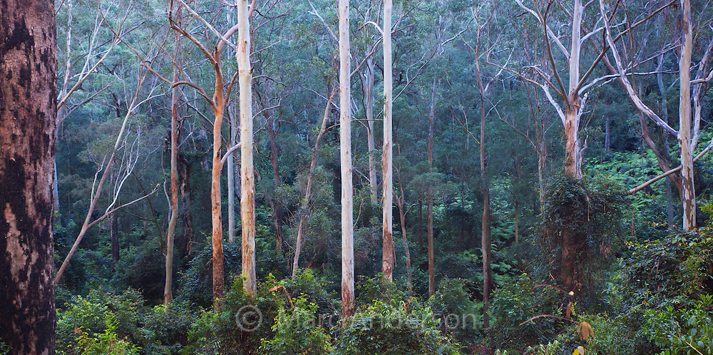 Tall wet eucalypt forest in Dharug National Park, NSW, Australia