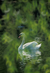 Graceful white swan seen through diffused tree branches.