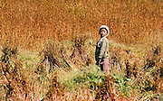A farm girl harvesting buckwheat in rural Bhutan.
