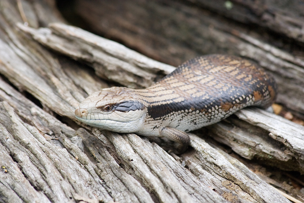 Blue Tongued Lizard (Tiliqua) sitting on a log, Australia