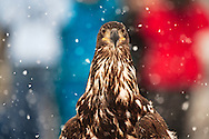 Juvenile Bald Eagle (Haliaeetus leucocephalus) perplexed after release in Chilkat Bald Eagle Preserve during the Bald Eagle Festival in Haines in Southeast Alaska. Winter. Afternoon.