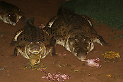 Kenya, Samburu National Reserve, Kenya, Nile River Crocodile (Crocodylus niloticus) on the river banks of the Ewaso Nyiro coming out to feed. Night Shot, February 2007