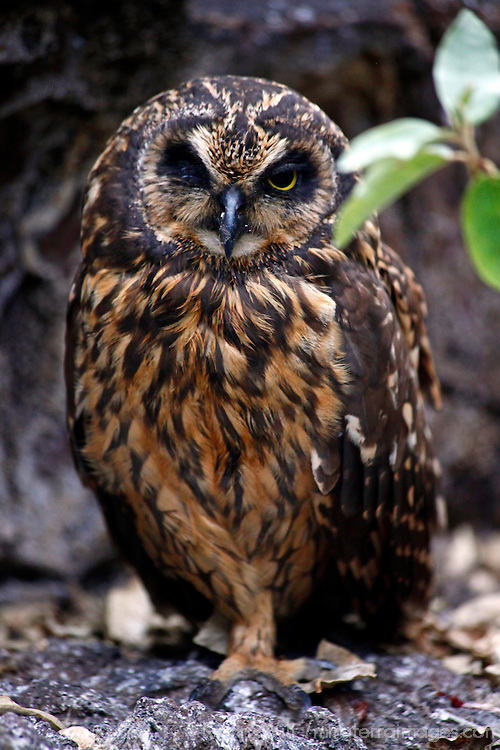 South America, Ecuador, Galapagos Islands. Short-eared owl of the Galapagos.
