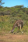 Masai giraffe drinking water.
