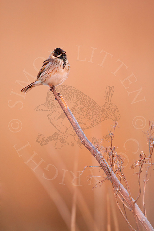 Reed Bunting (Emberiza schoeniclus) adult male calling from perch, Norfolk Broads N.P., UK.