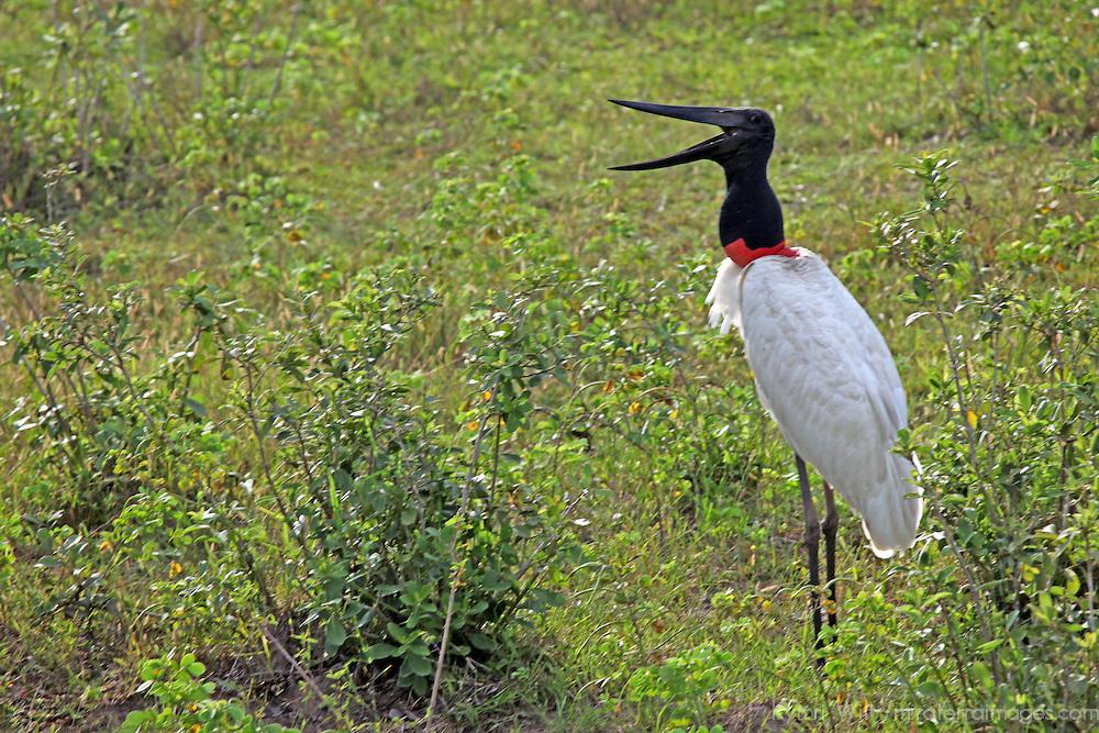 South America, Brazil, Pantanal.  Jabiru Stork, the emblematic bird of the Pantanal.