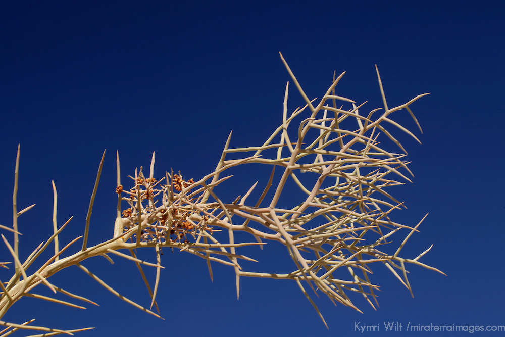 USA, California, San Diego County. Crucifixion Thorn Tree branch at Anza-Borrego Desert State Park.