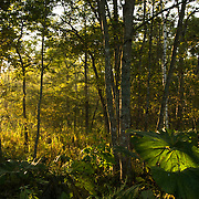 Rays of early autumn light shine through some secondary regrowth forest in the countryside of Hokkaido, Japan