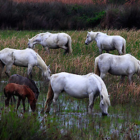 A small herd of wild horses in the marshes around Etang de Vaccarés, the largest lake of Camargue in France