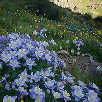 I love to explore the alpine meadows in Colorado in the summer.  July is a great time for a visit to locations outside of Silverton for wildflowers.  This photo shows a large bunch of Colorado Columbine at 12,300 feet.