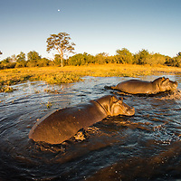 Africa, Botswana, Moremi Game Reserve, Aerial view of Hippopotamus (Hippopotamus amphibius) swimming in Khwai River in Okavango Delta at sunset