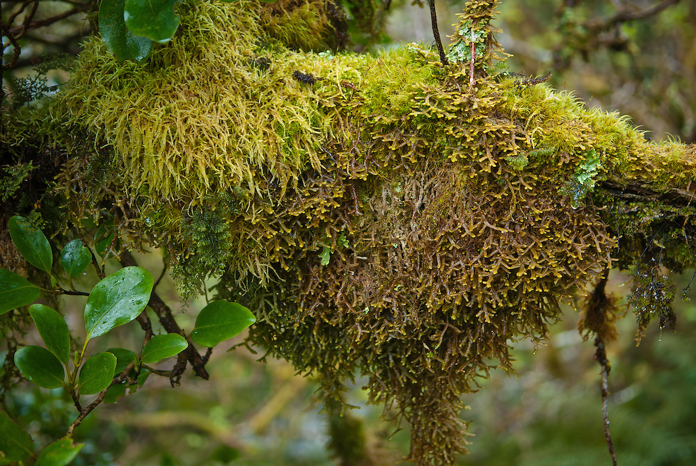 A large clump of liverwort  'Dendromastigophora flagellifera' together with a variety of mosses hang from a papauma branch, Milford Track, New Zealand