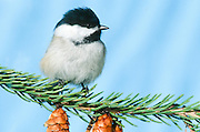 Alaska, Black-capped Chickadee (Poecile atricapillus) is a small, common songbird, a passerine bird in the tit family Paridae.