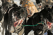 Sled dogs race around a corner during the Fur Rendezvous World Champion Sled Dog Race in Anchorage, Alaska.