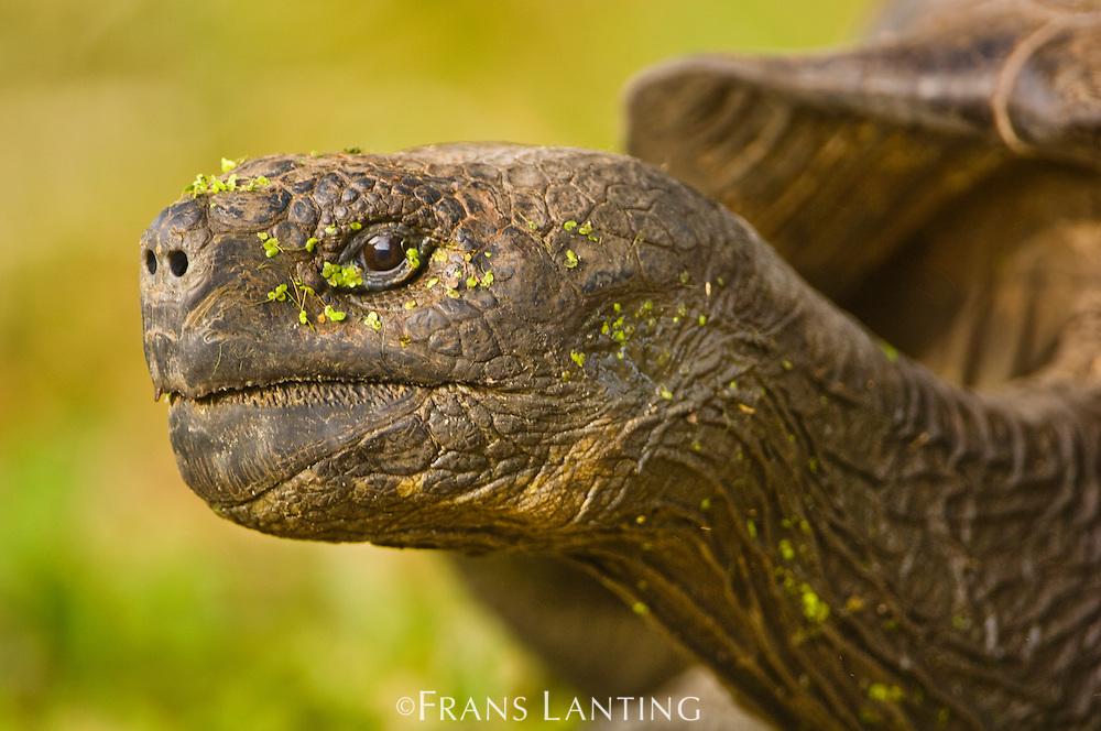 Galapagos giant tortoise, Chelonoidis nigra, Floreana Island, Galapagos Islands